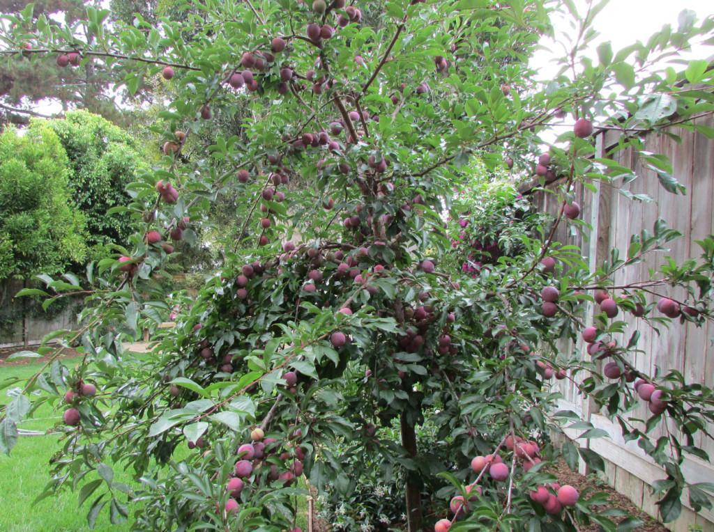 drv.plum
